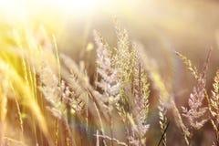 Wysoka trawa kąpać się w świetle słonecznym Obraz Royalty Free