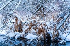 Wysoka trawa w opad śniegu po śnieżycy w Vancouver delcie BC przy oparzenie bagnem, Śnieżne lasowe sceny zdjęcie stock