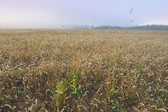 Wysoka trawy preria przy świtem Obrazy Stock