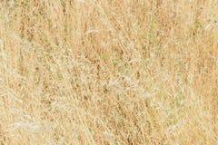 Wysoka wysuszona trawa Zdjęcie Royalty Free