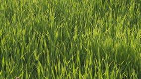 Wysoka zielona trawa w letnim dniu zdjęcie wideo