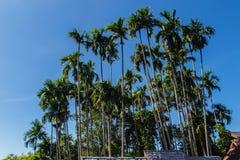 Wysoki betli drzew areki catechu, także znać jako areki dokrętki palma, betel palma, Indiańska dokrętka, Pinang palma Areki dokrę Zdjęcia Stock