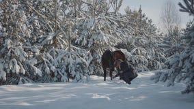 Wysoki brodaty mężczyzna z uroczego brązu thoroughbred koniem między jedlinowymi drzewami Zwierzęcy żuć smycz, mężczyzna próbuje  zdjęcie wideo
