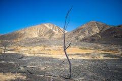 Wysoki Chuderlawy Palący drzewo Fotografia Royalty Free
