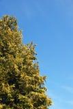 Wysoki conifer drzewo przeciw niebieskiemu niebu Fotografia Royalty Free