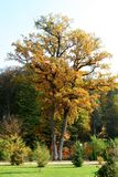 Wysoki dąb w parku w jesieni obraz stock