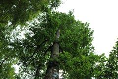 Wysoki dębowy drzewo Obrazy Stock
