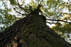 Wysoki deciduous drzewo widzieć spod spodu Zdjęcia Royalty Free