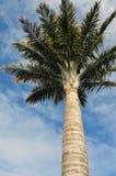 Wysoki drzewko palmowe Zdjęcia Royalty Free