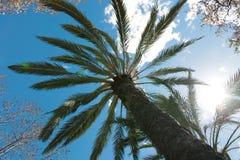 Wysoki drzewko palmowe na głębokim niebieskiego nieba tle Zdjęcia Stock