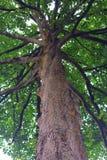 Wysoki drzewny bagażnik Fotografia Stock