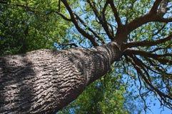 wysoki drzewo Fotografia Royalty Free