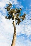 wysoki drzewo Zdjęcia Royalty Free