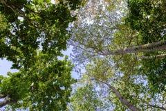 Wysoki drzewo do nieba Obrazy Stock
