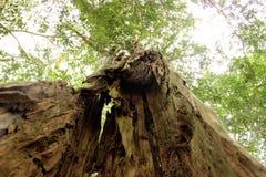 Wysoki drzewo z pustą baryłką Zdjęcia Royalty Free