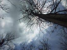 Wysoki holz drzewo w silhoutte Obrazy Stock