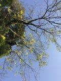 Wysoki i prosty na halnym drzewie Fotografia Royalty Free