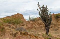 Wysoki i sumiasty kaktus w Tatacoa tropikalnym suchym lesie Zdjęcia Stock