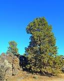 Wysoki Jałowcowy drzewo Obrazy Stock