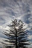 Wysoki jedlinowy drzewo Fotografia Royalty Free