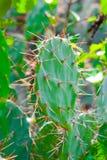 Wysoki kaktus w kaktusowym ogródzie Zdjęcia Royalty Free