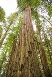 Wysoki Kalifornia Redwoods wierza niebo zdjęcia stock