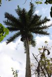 Wysoki królewski drzewko palmowe Zdjęcia Royalty Free