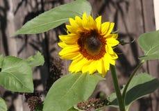 wysoki kwiatu słońce Obrazy Royalty Free