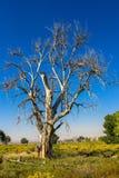 Wysoki, majestatyczny Cottonwood drzewo, umierał susza w wiejskim Utah zdjęcie stock