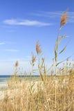 wysoki owsa morze Zdjęcia Royalty Free