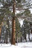 wysoki ponderosa sosnowy śnieg Zdjęcia Royalty Free