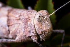 Wysoki powiekszanie makro- grashopper ` s głowa Fotografia Royalty Free