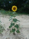 Wysoki słonecznik zdjęcia stock