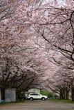Wysoki Sakura drzewo zdjęcie royalty free