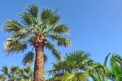 Wysoki Samotny Kokosowy drzewko palmowe Na niebieskiego nieba tle Obraz Royalty Free