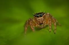 wysoki skokowy makro- powiekszania fotografii pająk Zdjęcie Royalty Free