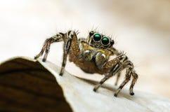wysoki skokowy makro- powiekszania fotografii pająk Zdjęcia Royalty Free
