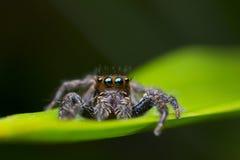 wysoki skokowy makro- powiekszania fotografii pająk Zdjęcie Stock