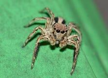 wysoki skokowy makro- powiekszania fotografii pająk Obrazy Royalty Free