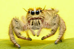 wysoki skokowy makro- powiekszania fotografii pająk Obraz Stock