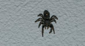 wysoki skokowy makro- powiekszania fotografii pająk Fotografia Stock