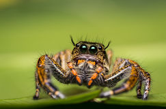 wysoki skokowy makro- powiekszania fotografii pająk Zdjęcia Stock