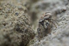 wysoki skokowy makro- powiekszania fotografii pająk Obrazy Stock