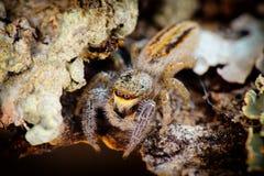wysoki skokowy makro- powiekszania fotografii pająk Odgórny widok Zdjęcia Royalty Free