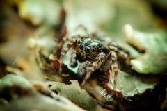 wysoki skokowy makro- powiekszania fotografii pająk Odgórny widok Obrazy Royalty Free