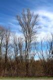 Wysoki stary drzewo bez żadny opuszcza wznosić się nad mali drzewa i inna sucha lasowa roślinność z chmurnym niebieskim niebem w  obrazy royalty free
