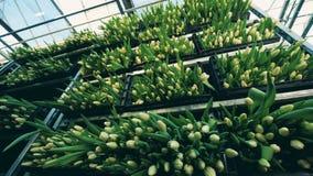 Wysoki stojak z dużo boksuje pełno żółci tulipany w glasshouse zbiory wideo