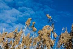Wysoki suchy bagno trawy Phragmites w bagnach zalewa obrazy stock