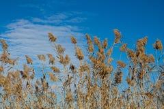 Wysoki suchy bagno trawy Phragmites w bagnach zalewa zdjęcia royalty free