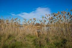 Wysoki suchy bagno trawy Phragmites w bagnach zalewa zdjęcie stock